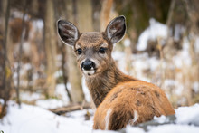 Cute, Fuzzy Whitetail Fawn In Snow