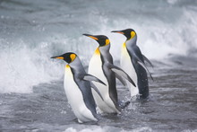 Three King Penguins Head Into The Ocean