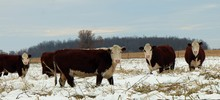 Herford Cows Rooting Through T...