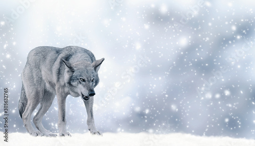 Portrait of fabulous grinning gray wolf (canis lupus) ready to attack on winter snow background with snowflakes. Fantasy christmas card with snowy fairy tale landscape and predator animal. Copy space.
