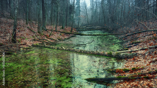 Fotografie, Obraz swamp in the misty forest at dawn in late fall