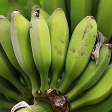 Green Unripe Bunch Of Bananas Growing On Banana Tree