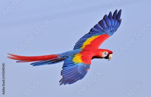 Deurstickers Papegaai Scarlet Macaw In Flight #1