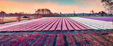 Picturesque Spring Scene Of Field Of Blooming Hyacinth Flowers. Panoramic Spring Sunrise In Netherlands, Europe. Traveling Concept Background.