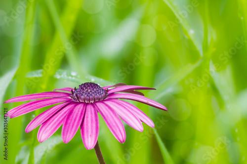 Fotografie, Obraz  margarita purpura sobre un fondo verde natural