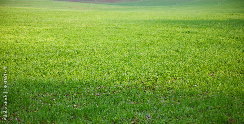 Fototapeta The field of young wheat. Background green grass