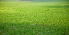The Field Of Young Wheat. Background Green Grass