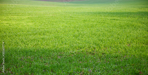 Fototapeta The field of young wheat. Background green grass obraz