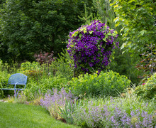Royal Purple Flowers From The Jackmanii Clematis In Full Bloom In This Monet Like Garden In The Garden