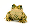 spotted toad sitting close-up on white background