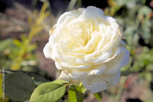 Tablou Canvas White roses.