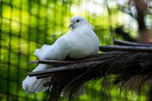 Purebred Dove