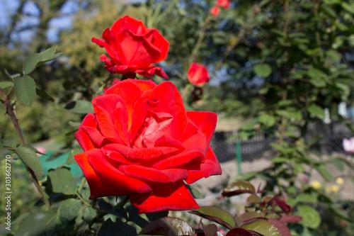 Red Roses. Fototapet