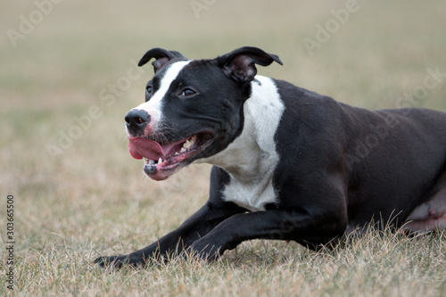 Fotografia American pit bull terrier playing outdoor, black and white dog playing