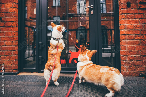 Fotografiet  Two funny corgi dog waiting for owner at the door.