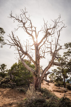 An Old Gnarled Tree With The Sunlight
