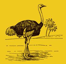 Male Common Ostrich Struthio C...