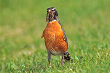 American Robin On Grass, Holding Caterpillar In Beak.