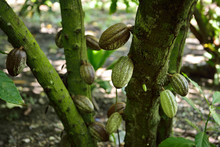 Pod Fruit Containing Cocoa Beans Growing From The Branches Of A Cacao Tree Dominican Republic
