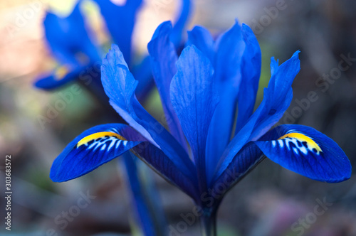 irises growing in natural conditions. background. Canvas Print