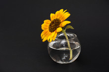 Sunflower In Vase Of Water. Is...