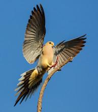 Mourning Dove Landing