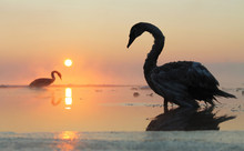 Swans At Sunset On The Ice