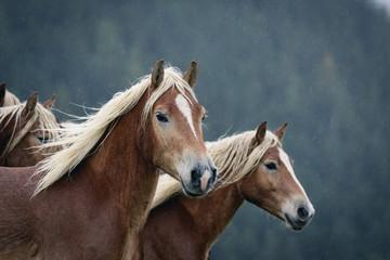 Haflinger Pferde im Regen und Nebel