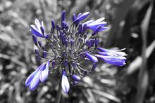 Blue Agapanthus On Grey Background