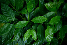 Coffee Leaves Closeup At Nursery Plantation.