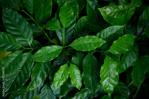 Obraz Coffee leaves closeup at nursery plantation. - fototapety do salonu