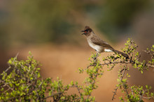 Common Bulbul - Pycnonotus Barbatus Member Of The Bulbul Family Of Passerine Birds. It Is Found In North-eastern, Northern, Western And Central Africa