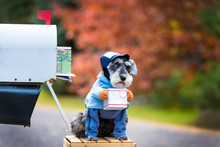 Little Dog, Miniature Schnauzer Dressed Up In Costume As Letter Carrier Holding Little Package In Front Of US Mailbox.  Shallow Depth Of Field With Beautiful Colorful Trees.