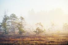 Foggy Swamp At Sunrise. Pine T...