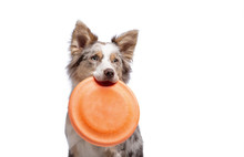 The Dog Holds A Disc In His Teeth. Border Collie On A White Background,