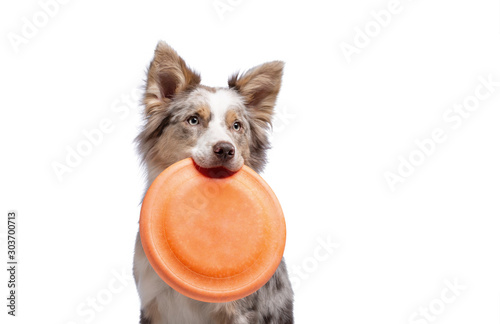 Fényképezés the dog holds a disc in his teeth