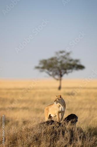 Lioness Serengeti Wall mural