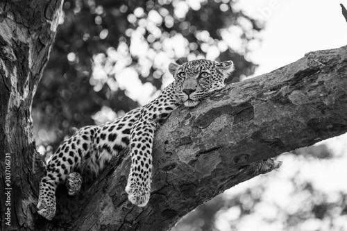 Leinwand Poster leopard