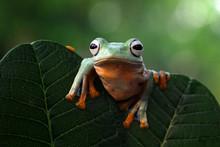 Flying Frog (rachophorus Reinwardtii) On A Leaf, Indonesia