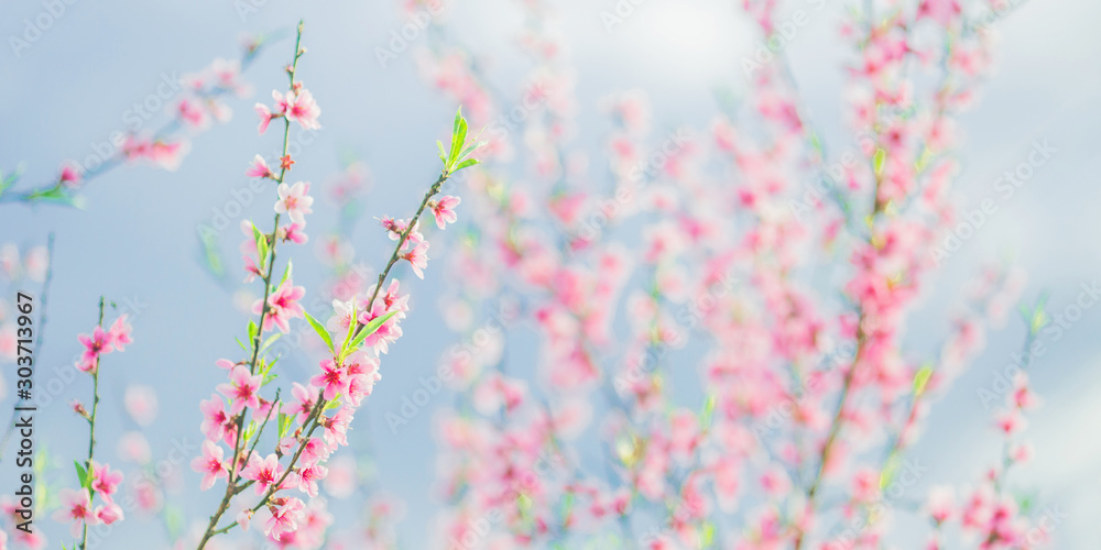 Fototapety, obrazy: Apricot branch with pink flowers panorama. Spring blooming tree background. Nature backdrop. Blooming spring flower. Blossom sakura in garden. Beautiful tree panorama. Amazing flower panoramic crop.