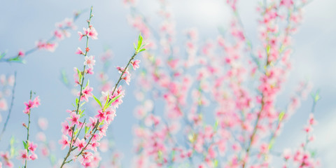 Apricot branch with pink flowers panorama. Spring blooming tree background. Nature backdrop. Blooming spring flower. Blossom sakura in garden. Beautiful tree panorama. Amazing flower panoramic crop.