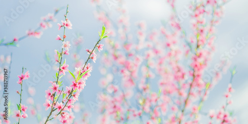 Apricot branch with pink flowers panorama. Spring blooming tree background. Nature backdrop. Blooming spring flower. Blossom sakura in garden. Beautiful tree panorama. Amazing flower panoramic crop. - 303713967