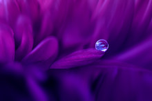 Close-up Of A Water Droplet On A Flower, Indonesia