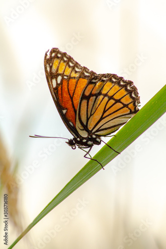 Viceroy butterfly (monarch mimic) on a blade of grass