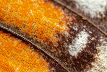 Closeup Of A Viceroy Butterfly Wing, Showing Scales