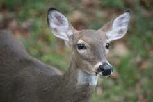 Portrait Of A Deer 2