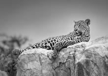 Leopard Ona Rock