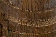 Palm Tree Trunk With Thick Rings