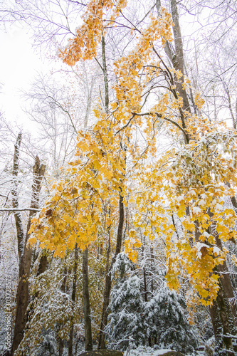 Yellow leaves on snow covered tree limbs