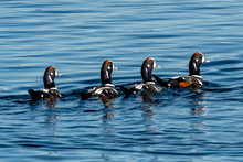 Four Harlequin Ducks Swimming In A Row, Vancouver Island, British Columbia, Canada